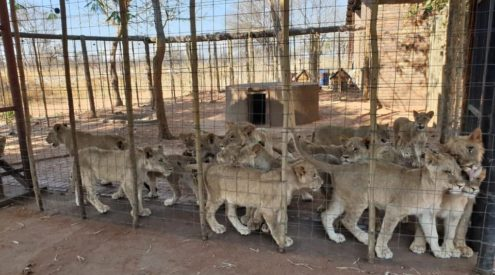 Blood Lions responds to banning of captive lion breeding