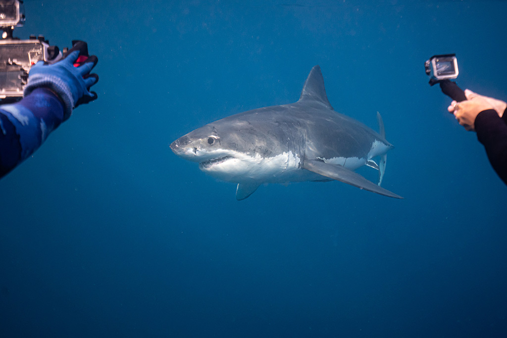 Looking for tiger sharks and finding a great white