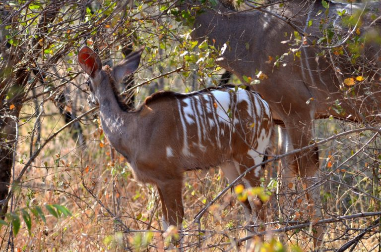 Kudu with unusual white patches spotted in the Kruger