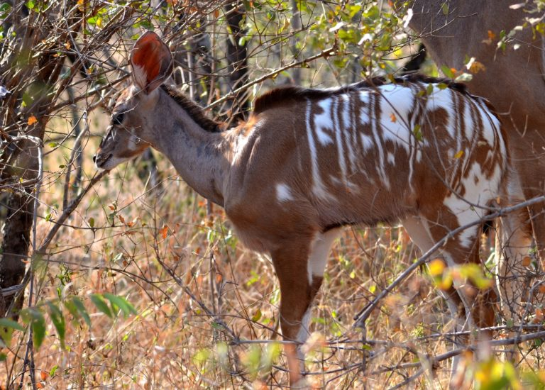 Kudu with unusual white patches spotted in Kruger