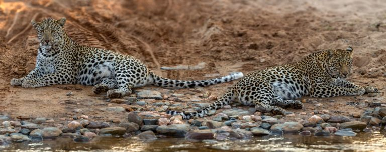 Leopard siblings rehabilitated and released at Nkomazi Private Game Reserve