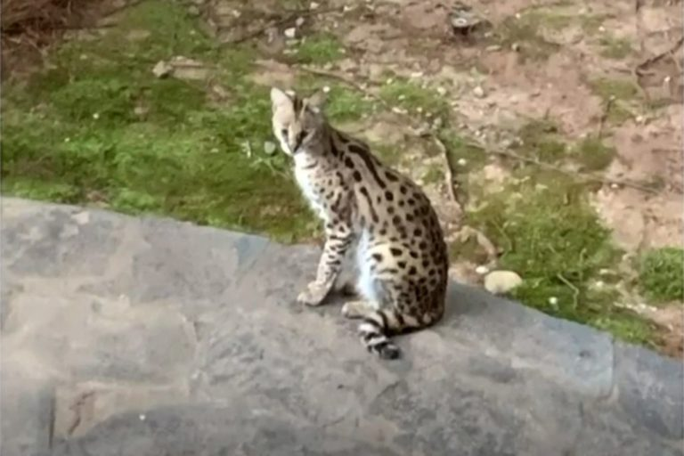 Wild serval cat caught in bed by Atlanta woman