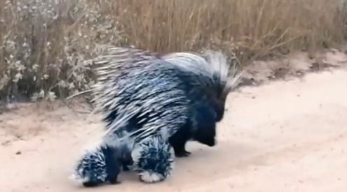 Porcupine mom and her litter spotted in the Kruger