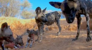 Wild Dogs return to their den to feed their puppies