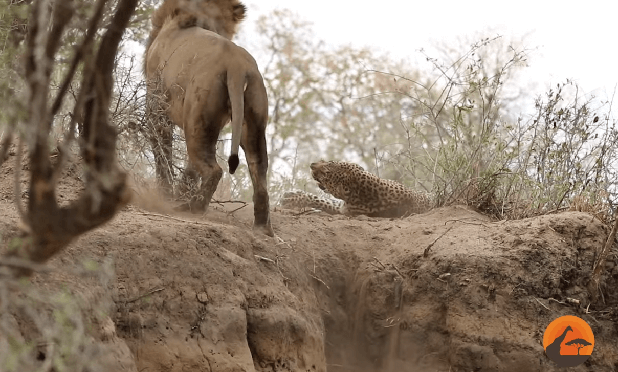 What occurs when a lion stumbles throughout a sleeping leopard?